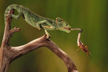 養寵物知識:蜥蜴吃什么食物?