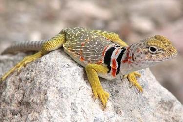 蜥蜴咬人有毒嗎?(養寵物資料)