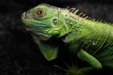 養寵物專題:綠鬣蜥的食物及飼料配方