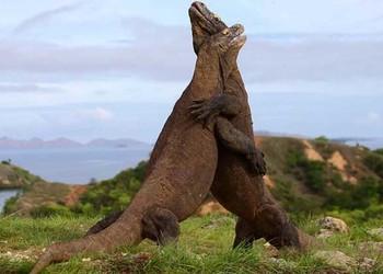 科莫多巨蜥是恐龍嗎?(生物研學知識)