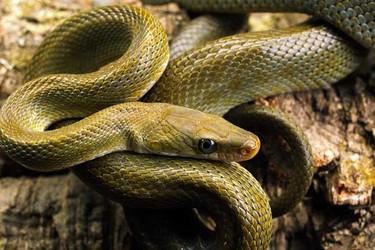 蛇蜥和蛇有什么區別?(養蜥蜴知識)