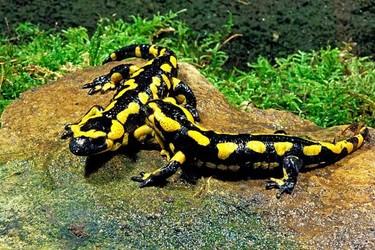 火蜥蜴的壽命有多長?(生物研學知識)