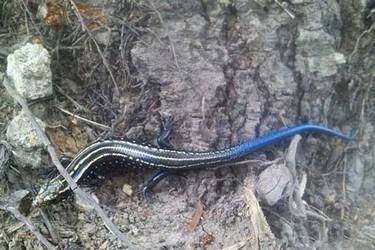 藍尾金蜥有毒嗎?(養蜥蜴知識)