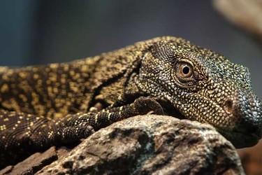 蜥蜴是保護動物嗎?是兩棲動物嗎?