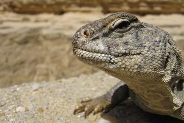 蜥蜴是爬行動物嗎?兩棲動物有什么特征?