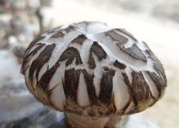 花菇产地环境怎样?分布在哪里?