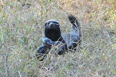 蜜獾什么不怕蛇毒?有哪些種類?