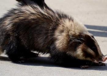 豬獾是保護動物嗎?(生物研學知識)