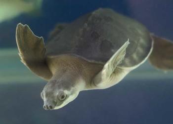 养宠物龟:猪鼻龟的饲养环境与饵料投喂