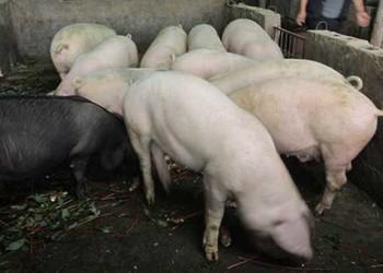 養豬專題:豬高熱病的癥狀與治療方法