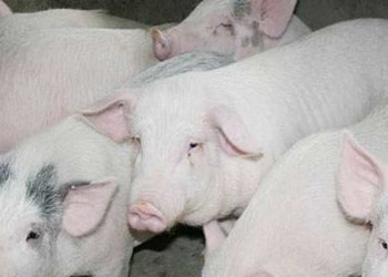 農村一個勞力可以養多少頭豬為宜?【養豬專題】