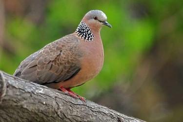 圖文:斑鳩種類、食物及繁育率