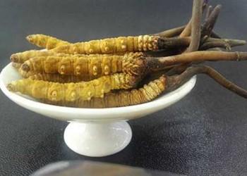 冬蟲夏草的藥用功效與作用及食用方法(藥膳專題)