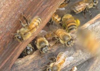 養蜂專題:蜜蜂什么時候適合繁育?