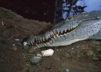 鱷魚高效飼養技術-怎么養鱷魚?
