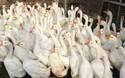 養家禽創業:養1000只鵝成本多少錢?