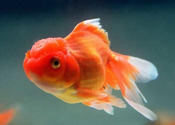 养鱼资料:金鱼如何养才不容易死?