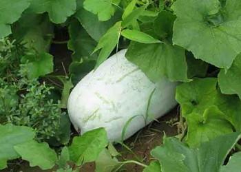 【蔬菜專題】冬瓜種子怎么栽植種養?