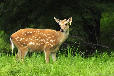 珍稀品种特种养殖:饲养梅花鹿要办哪些证?