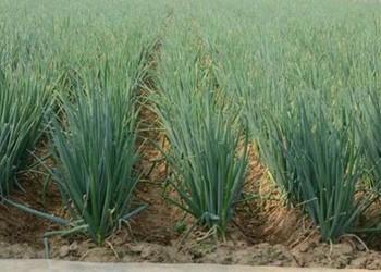 大葱种子价格及播种栽种方法