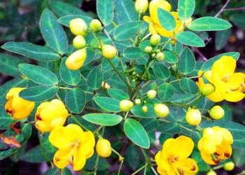 中草藥:決明子栽植種養方法及種子價格