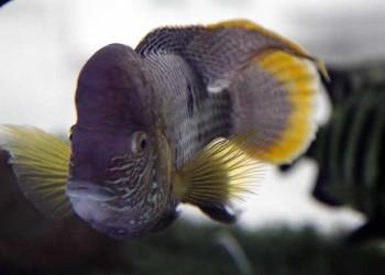 羅漢魚哪個品種漂亮?(觀賞魚知識)