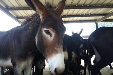 乌头驴的选购方法及主要肉驴养殖品种介绍