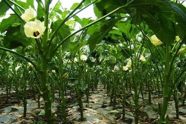 秋葵什么時候播種最好?(蔬菜種植技術)
