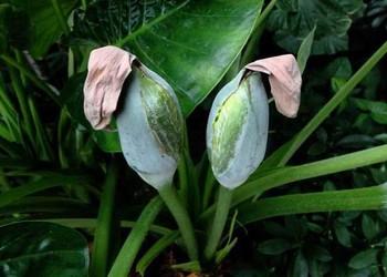 中草药种植:独角莲种子价格及栽植种养方法