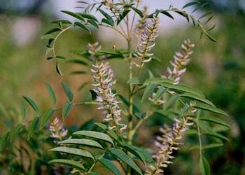 中草药种植:甘草栽植种养方法及种子价格