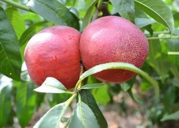 桃樹繁育方法介紹