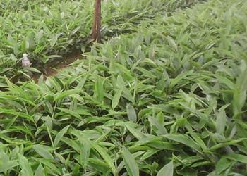 中草藥種植:砂仁種子價格及栽植種養方法