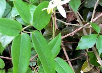 中草藥:威靈仙種子價格及栽植種養方法