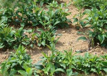 白術高產栽植種養技術(中藥種植生產)