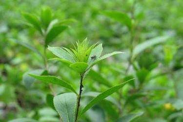 中草药:苍术高产栽植种养技术