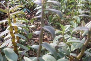 中草藥:鐵皮石斛種苗價格及種養方法