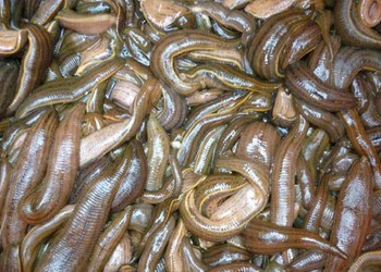 水蛭價格、品種及飼養方法【特種養殖】