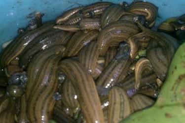 水蛭网箱饲养的水质条件与方法