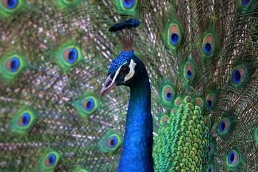 人工飼養孔雀的盈利來源與銷路