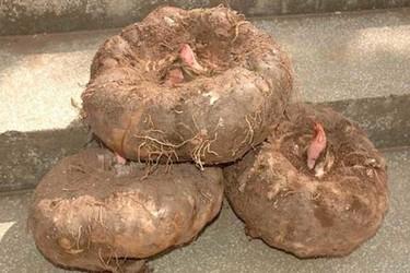 魔芋高產栽培方法與批量加工技術(蔬菜種植與加工)