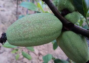 木瓜繁育繁殖及栽植种养方法