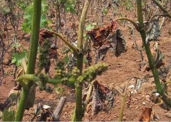 果樹栽培技術:葡萄凍害如何處理解決?