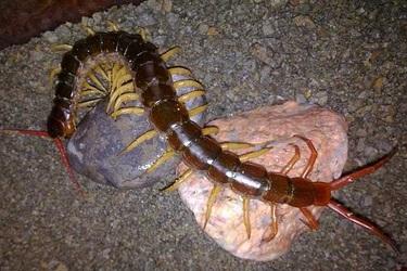 蜈蚣飼養常見疾病與預防技術手段【特種養殖】