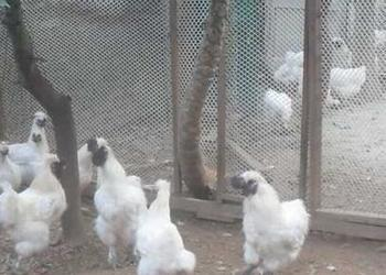 絲羽烏骨雞的飼養技術-雞舍怎么建設?