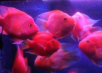 金剛鸚鵡魚和普通鸚鵡魚的區分辨別