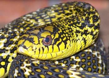 大王蛇的生活習性-大王蛇的毒性與繁殖特點