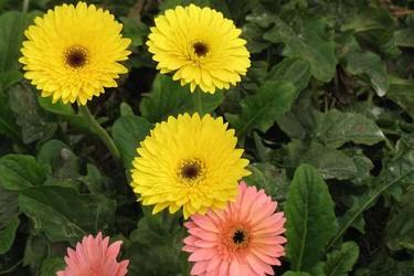 非洲菊的花語和寓意(園林花卉文化)