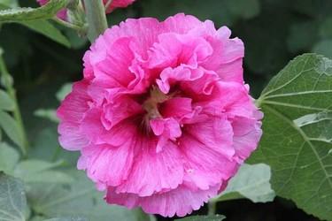 木槿花的花語和傳說(園林花卉文化)