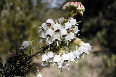 花卉文化-歐石楠的花語和傳說(附歌曲)