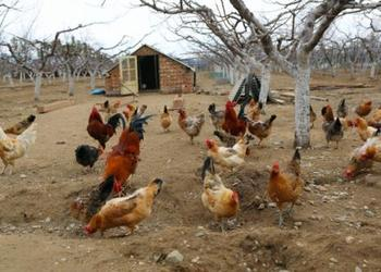 散养鸡使用围网的优点及选购指南